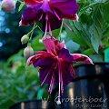 fuchsia W. Grootenboer #fuchsia #fuksja #kwiaty