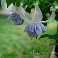 fuchsia Hollys Beauty #fuchsia #fuksje #kwiaty
