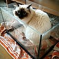 #koty #ragdoll #KotyRasowe