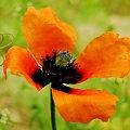 Polny maczek #Kwiaty #lato #łąki #maki #pola #przyroda