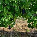 www.winnica-dolinasanu.pl, winnica dolina sanu, sanok, winnica, podparpackie, podkarpacie #WinnicaDolinaSanu #sanok #winnica #podparpackie #podkarpacie