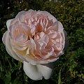 Sebstian Kneipp #róże