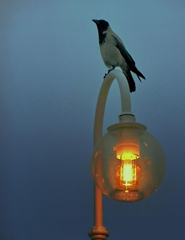 siwa wrona - moja sympatia #wrona #SiwaWrona #lampa