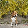 figo-a #beagle #figo #zaginął