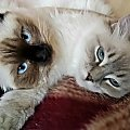 #koty #KotyRasowe #ragdoll
