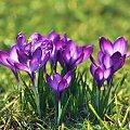 krokusiki :) #krokusy #kwiaty #wiosna