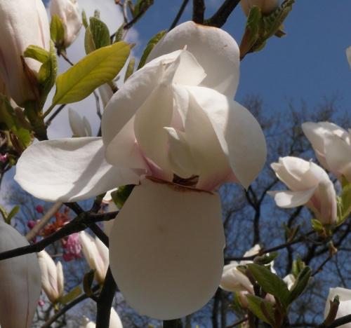 Magnolia #Amfiteatr #Magnolia #WiosnaWParku