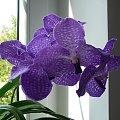 Vanda #orchid #orchidea #storczyk #vanda